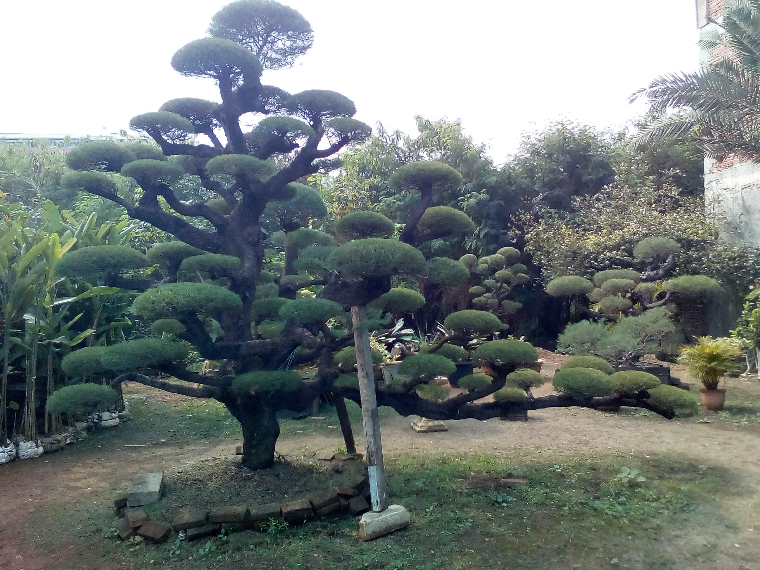 jual pohon bonsai cemara udang